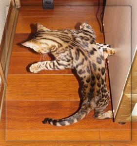 бенгальская кошка и бенгальская мышка - 1