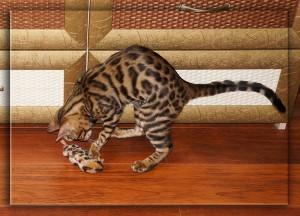 бенгальская кошка и бенгальская мышка - 5