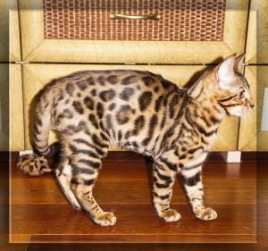 бенгальская кошка и бенгальская мышка - 7